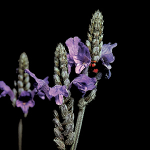 Lavandula multifida